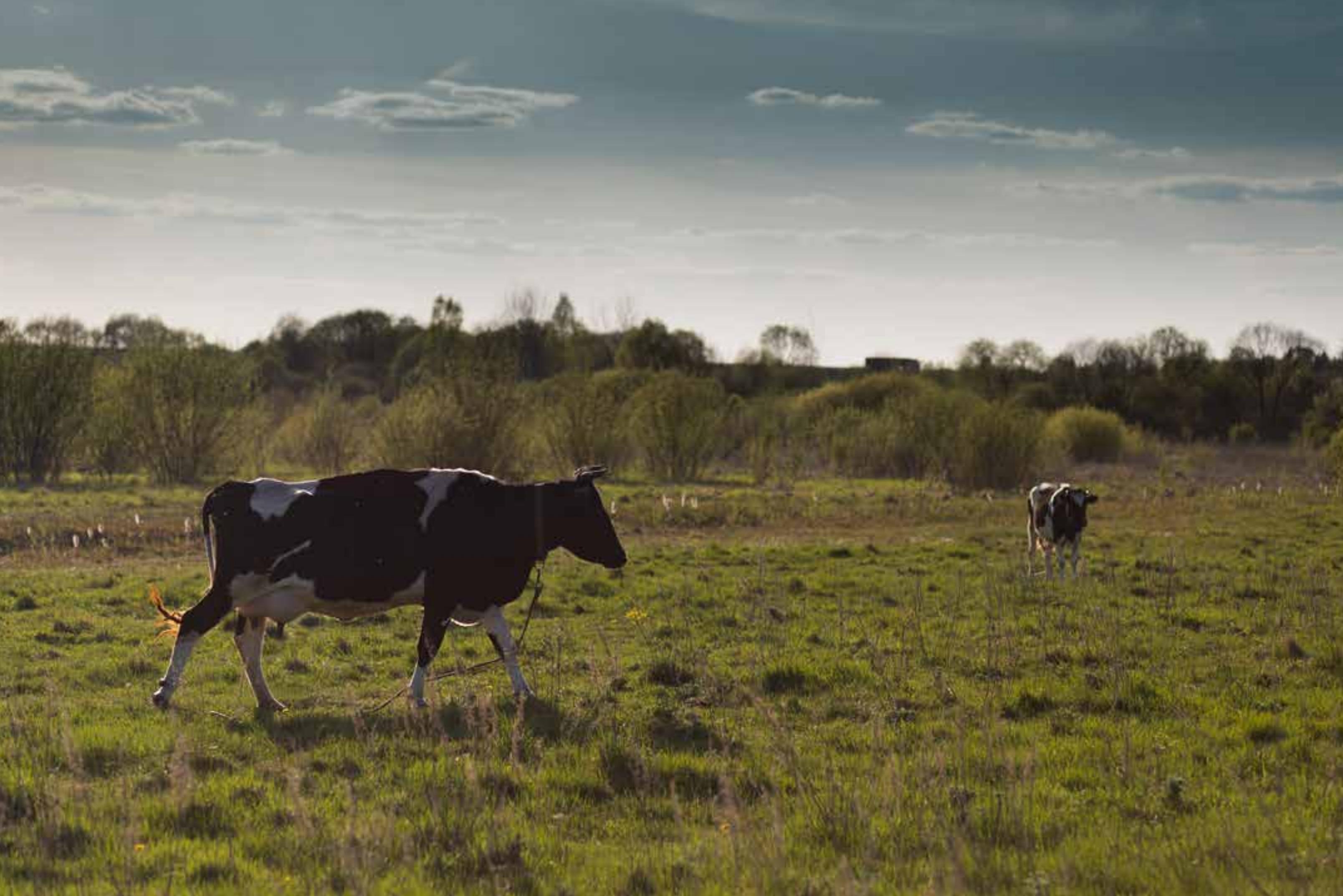As Nosas Vacas